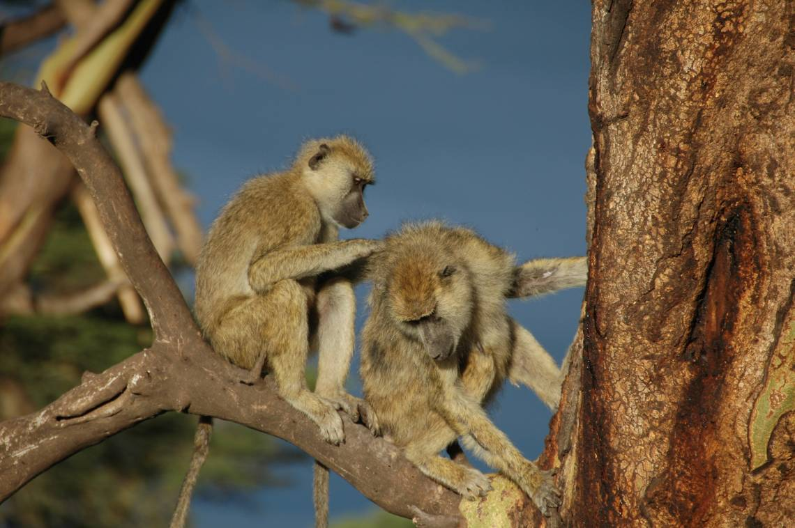 Susan Alberts, DUPRI Scholar and Chair of Evolutionary Anthropology, together with colleagues, find that male baboons with female friends live longer: strong opposite-sex bonds are  linked to better chances of survival